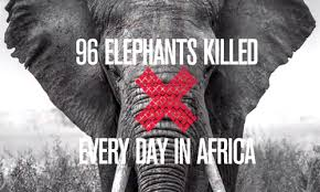 Elephant poaching: 100,00 killed in the last three years alone