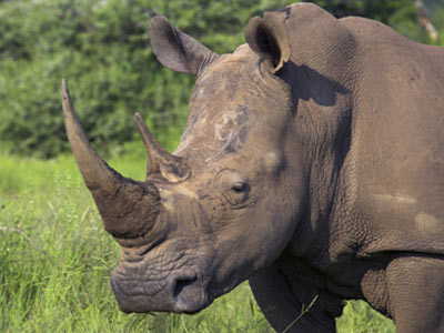 Hunting the horn leaves the rhinos forlorn: Rhinoceros poaching in Africa