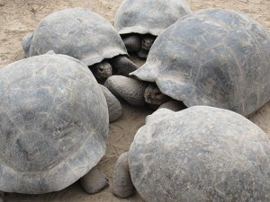 Cerro Palomo tortoises at the Isabela Island Tortoise Center (photo: Mary Ting)