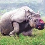 rhino horn damage