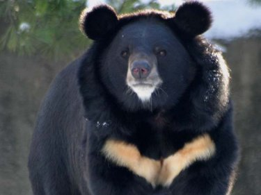 Asiatic black bear: Selenarctos thibetanus (Photo: bearsoftheworld.net)