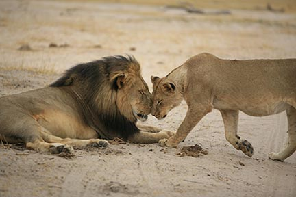 http://sustainabilityjjay.org/wp-content/uploads/2017/02/4.sm_Cecil-and-his-lioness.jpg